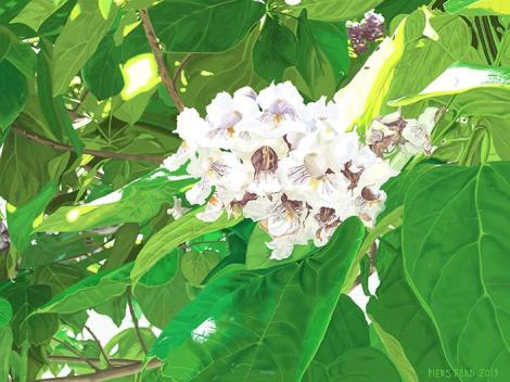 CATALPA - INDIAN BEAN TREE